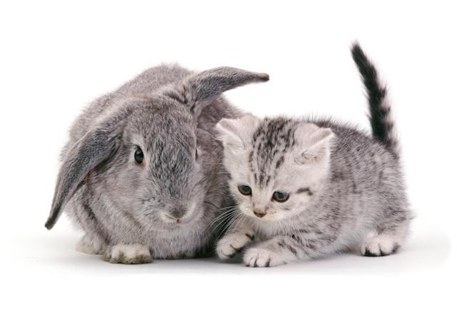 <p>British Shorthair silver-spotted kitten, 8 weeks old, with silver Lop rabbit. (Photo: Warren photographic/Caters News) </p>