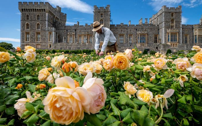 The garden is brimming with rose bushes - Geoff Pugh