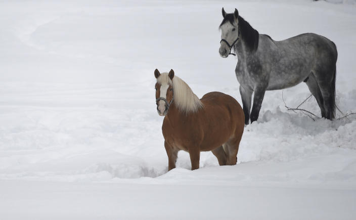 Horses stand in the snow in Garmisch-Partenkirchen, southern Germany, Monday. Jan. 7, 2019, after large parts of southern Germany and Austria were hit by heavy snowfall. (Angelika Warmuth/dpa via AP)