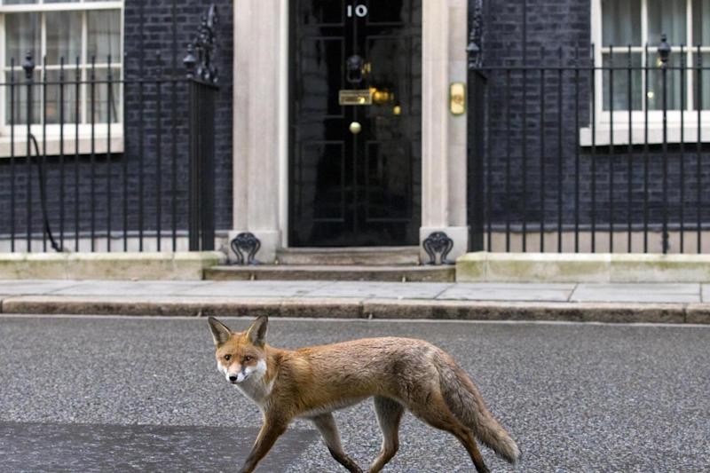 London: A fox strolling down Downing Street (AFP/Getty Images)
