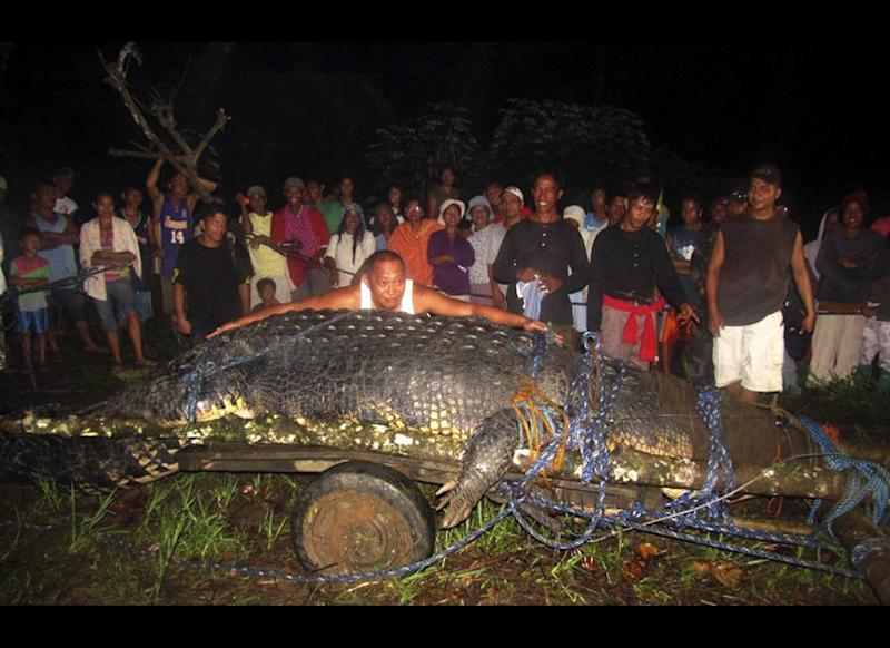 In this Sept. 4, 2011, photo, Mayor Cox Elorde of Bunawan township, Agusan del Sur Province, pretends to measure a huge crocodile, known as Lolong, which was captured by residents and crocodile farm staff along a creek in Bunawan late Saturday in southern Philippines. Elorde said that dozens of villagers and experts ensnared the 21-foot (6.4-meter) male crocodile along a creek in his township after a three-week hunt. It was one of the largest crocodiles to be captured alive in the Philippines in recent years.