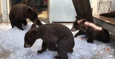 "<p>A female black bear and her three cubs were transferred to Oakland Zoo from the care of the California Department of Fish and Wildlife Wildlife Investigations Lab on June 20 after the animals broke into a Kern County home.</p><p>The zoo posted video on Friday, June 23, showing the three cubs and the sow playing with ice in their new home.</p><p>State policy normally does not allow for large adult animals to be place into captivity, but the case was ""a sequence of unique circumstances,"" <a href=""http://www.oaklandzoo.org//Press_Releases.php?c=Black_Bears_CA_Trail_6_2016"" target=""_blank"">according to a press release</a>.</p><p>The mother bear and her cubs broke into a home in Pine Mountain Club on May 15. The mother bear charged and swiped at the home's elderly resident, causing an injury to her left arm. The woman was treated at a local hospital and is recovering.</p><p>Policy normally requires that a black bear that is known to have attacked or injured a human be euthanized. The cubs, though, had yet to be weaned from their mother. The cubs were to be rehabilitated and released, while the mother was to be euthanized, but the cubs had become habituated to humans.</p><p>The Oakland Zoo then requested to take the three cubs and their mother for its California Trail exhibit, which is scheduled to open in 2018. The <span class=""caps"">CDFW</span> supported this strategy.</p><p>The download link provides a music-free version of this video. Credit: YouTube/Oakland Zoo via Storyful</p>"