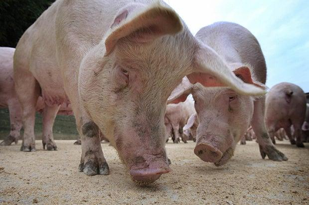 Pigs on a farm (Getty Images)