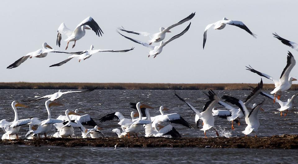 Migratory white pelicans take off from the shoreline of an island battered by oil from the BP oil spill Dec. 5, 2010, in Barataria Bay, Louisiana. (Photo: Mario Tama via Getty Images)