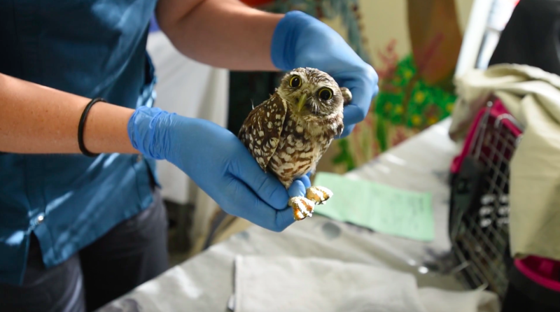 A burrowing owl is treated for a suspected injured wing at the South Florida Wildlife Center in Fort Lauderdale. (humanesociety.org)