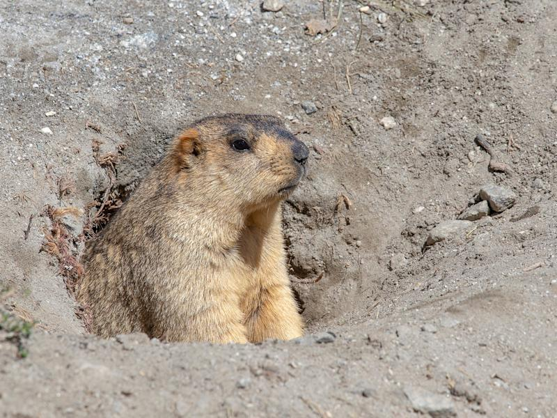 Two plague cases have been linked to marmots in Mongolia: Getty Images/iStockphoto