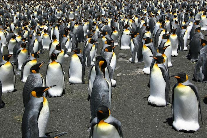 Global warming is on track to wipe out 70% of the world's King penguins by century's end, putting the regal birds on a path towards extinction, researchers have warned (AFP Photo/Celine Le Bohec)
