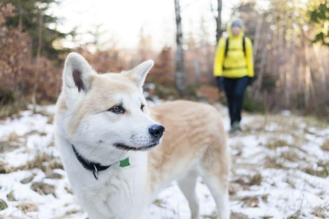 Woman hiking in white winter forest with akita dog. Recreation and healthy lifestyle outdoors in nature. Akita dog portrait on s