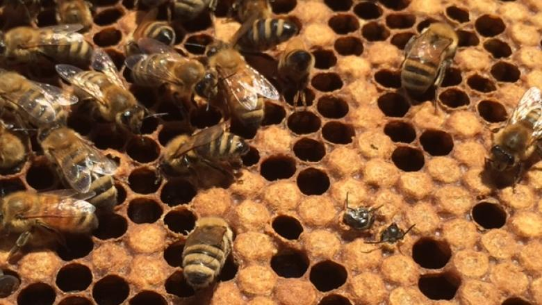 Province limits Ontario bee imports in light of beetle infestations