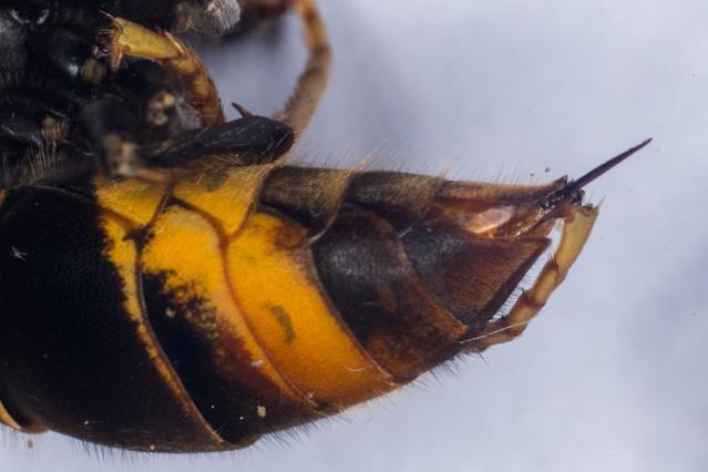This photo shows the sting of a Asian Hornet (Vespa Velutina) (AFP Photo/GUILLAUME SOUVANT)