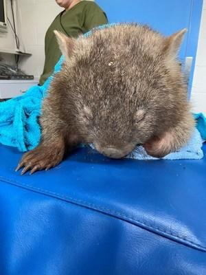 A rehydrated Lara is now in WIRES' care for 6-8 weeks. (photo credit WIRES)