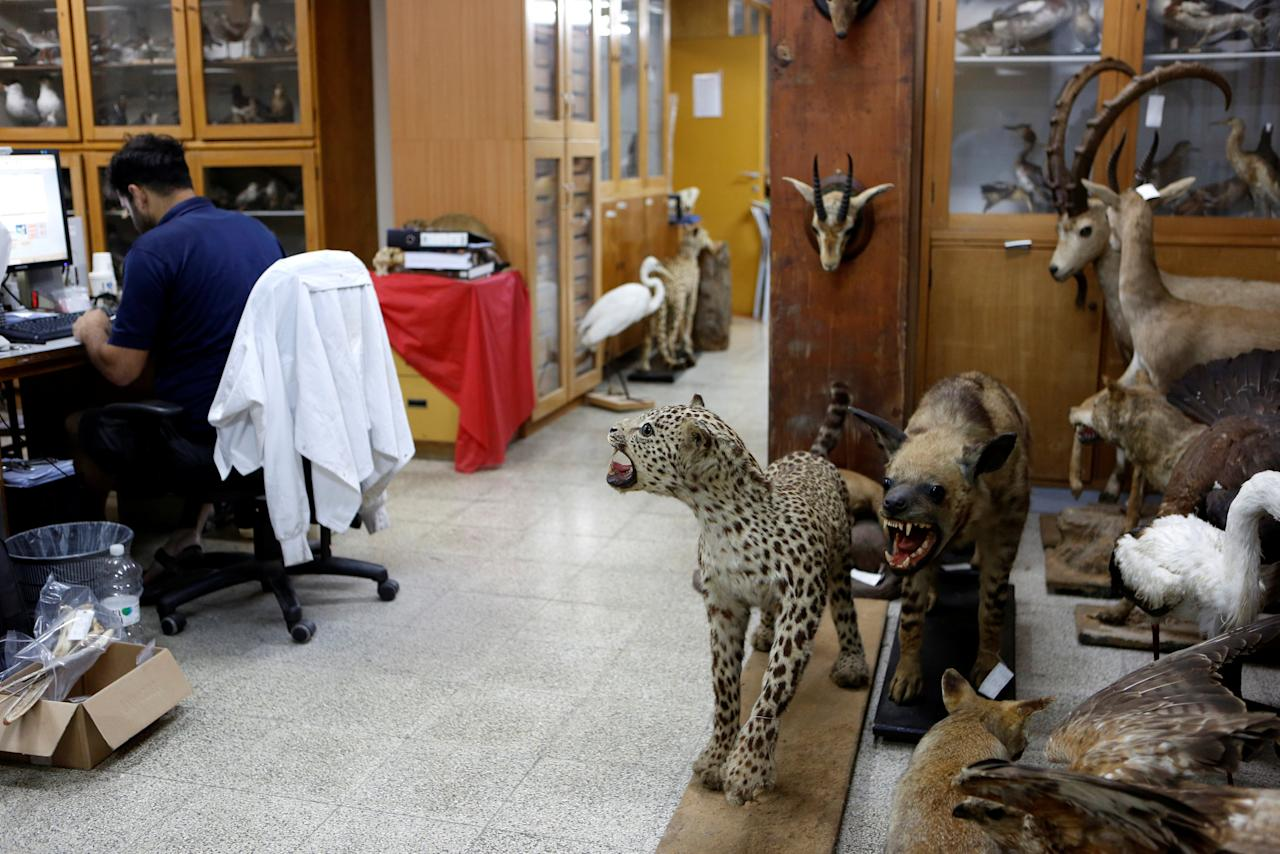 Taxidermied animals are seen as Asaf, a collection manager works at Tel Aviv University's Zoological centre, whose collection will be housed at the Steinhardt Museum of Natural History, a new Israeli natural history museum set to open next year in Tel Aviv, Israel June 8, 2016. Picture taken June 8, 2016. REUTERS/Nir Elias