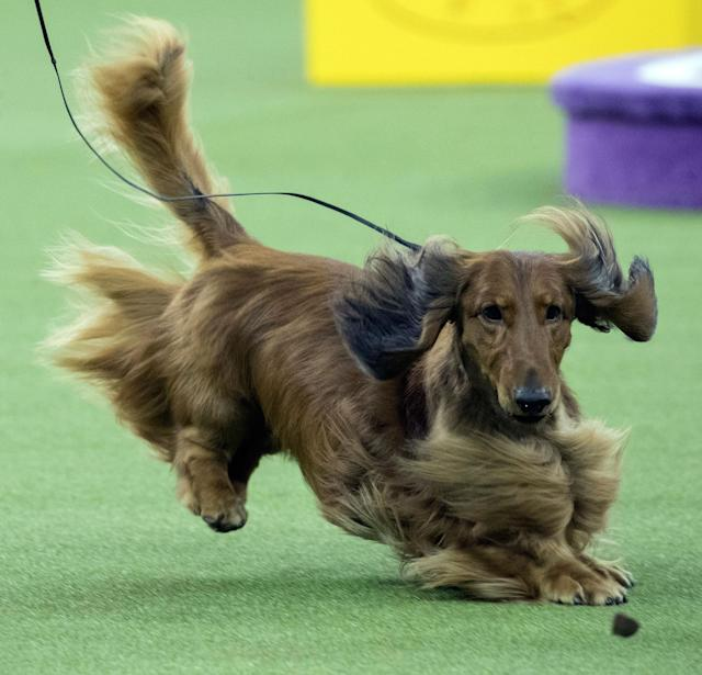 <p>A dachshund keeps his eye on a treat as he competes in the Hound group during the 142nd Westminster Kennel Club Dog Show, Monday, Feb. 12, 2018, at Madison Square Garden in New York. (Photo: Mary Altaffer/AP) </p>