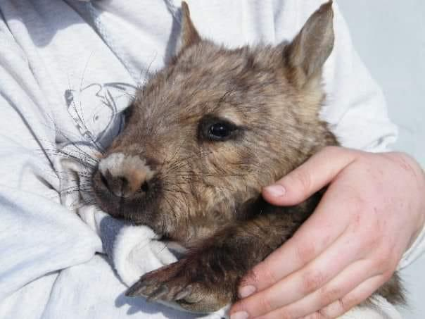 Wombat Awareness Organisation specialises in the care of southern hairy-nosed wombats. Source: Supplied