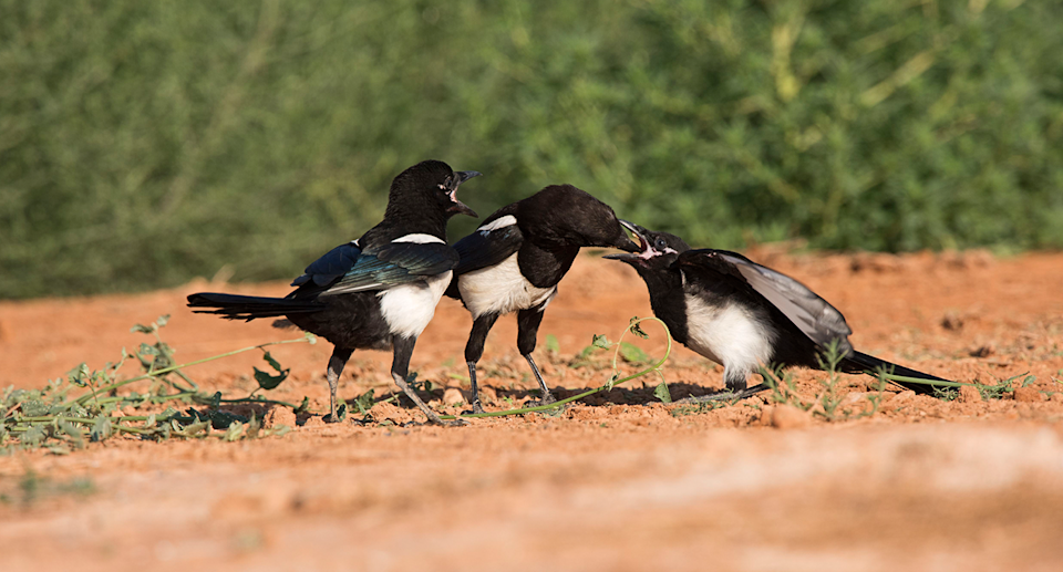 Eurasian magpies are known to be social birds. Source: Getty