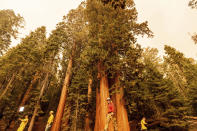 Members of the media walk among sequoia trees in Lost Grove as the KNP Complex Fire burns about 15 miles away on Friday, Sept. 17, 2021, in Sequoia National Park, Calif. (AP Photo/Noah Berger)