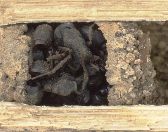 Nests of the bone-house wasp <em>D. ossarium</em> are closed by an outermost vestibular cell filled with dead ants.