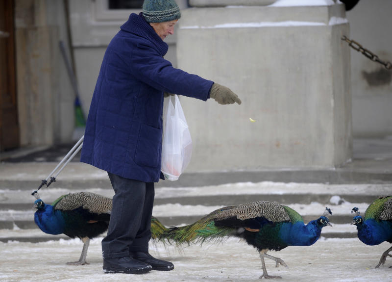 A woman feeds peacocks in the Lazienki park in Warsaw, Poland, Friday, Dec. 3, 2010. A deadly Arctic cold continued to disrupt life across Europe on Friday, bringing chaos to roads and frustration to travelers off all kinds, while the number of people who froze to death rose to at least 40. (AP Photo/Alik Keplicz)