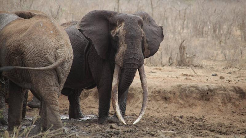 Poachers Kill One of the Last 'Giant Tusker' Elephants in Kenya