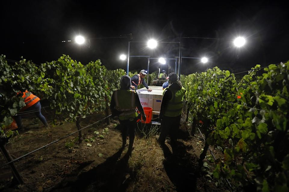 """Kathy Joseph harvests Chardonnay and Pinot Noir grapes along with the crew at night. <span class=""""copyright"""">(Carolyn Cole / Los Angeles Times)</span>"""