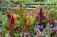 """<p>Celosia, also known as """"woolflowers,"""" come in a variety of colors and will last through early frost. The leaves are edible and taste a lot like spinach, but are best when the plant is young before it starts to bloom. </p><p><strong>When it blooms: </strong>Summer to fall</p><p><strong>Where to plant:</strong> Full sun to partial shade</p><p><strong>When to plant: </strong>Late spring to early summer</p><p><strong>USDA Hardiness Zones: </strong>2 to 10</p>"""