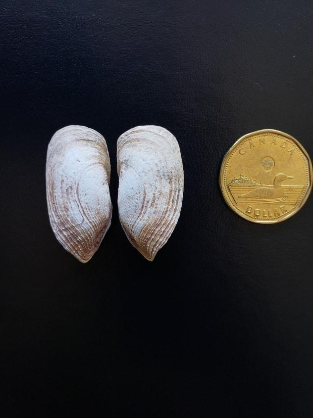 Atlantic Mud-piddock shells are shown next to a loonie for scale. The length of a fully matured Mud-piddock can be anywhere from three to five centimeters. (Submitted by Department of Fisheries and Oceans - image credit)