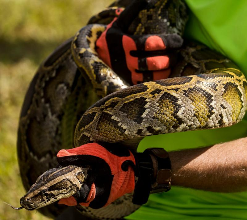 These wild burmese pythons were used for a training session on how to capture pythons in the wild. The session is held by the Florida Fish and Wildlife Conservation Commission at Citrus Park in Bonita Springs. Several residents from the park are going on a hunt Friday to kick off the 2020 python bowl. The invasive species are taking over the everglades and efforts are underway to eradicate them.