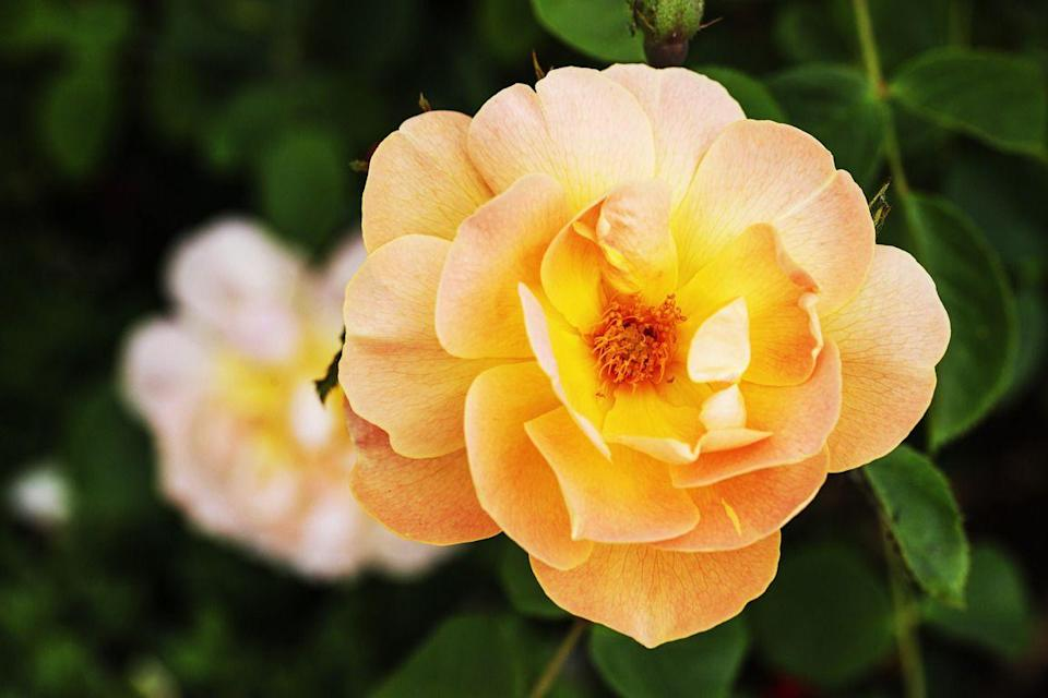 <p>Ree loves an apricot-colored rose. This lightly scented option has double blooms that open upward on four-to five-foot shrubs. It'll start flowering in spring and repeat until fall. </p>