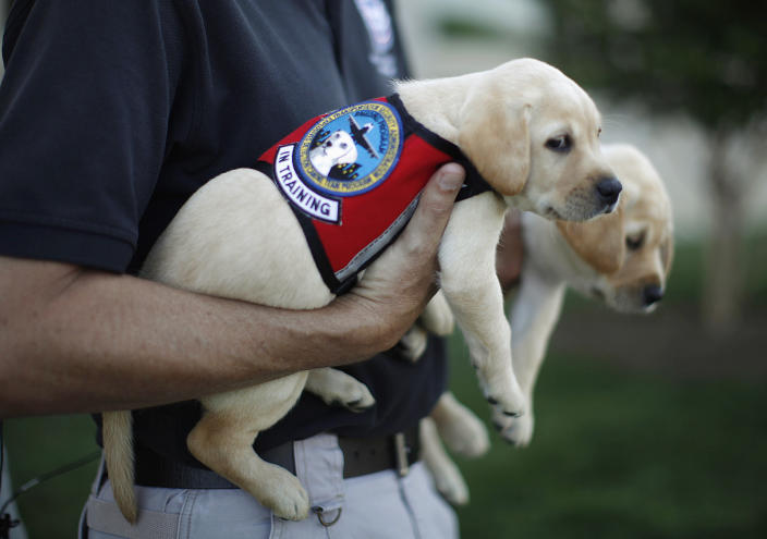 """Labrador puppies """"Hoey"""" (L) and """"Hatton"""", named in honor of September 11, 2001 attack victims Patrick Hoey and Lenny Hatton who died in the World Trade Center, are pictured on the grounds of the Pentagon near Washington, June 28, 2011. The dogs are part of the Transportation and Security Administration (TSA)'s Puppy Program where young dogs are raised to be used as future bomb sniffers at air cargo facilities nationwide. The tenth anniversary of the September 11, 2001 attacks will be commemorated this year. (REUTERS/Jason Reed)"""