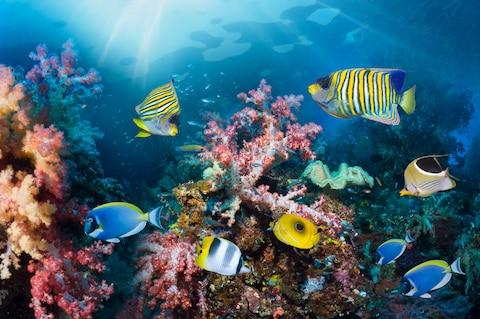 Angelfish and spectacular coral - Credit: GETTY