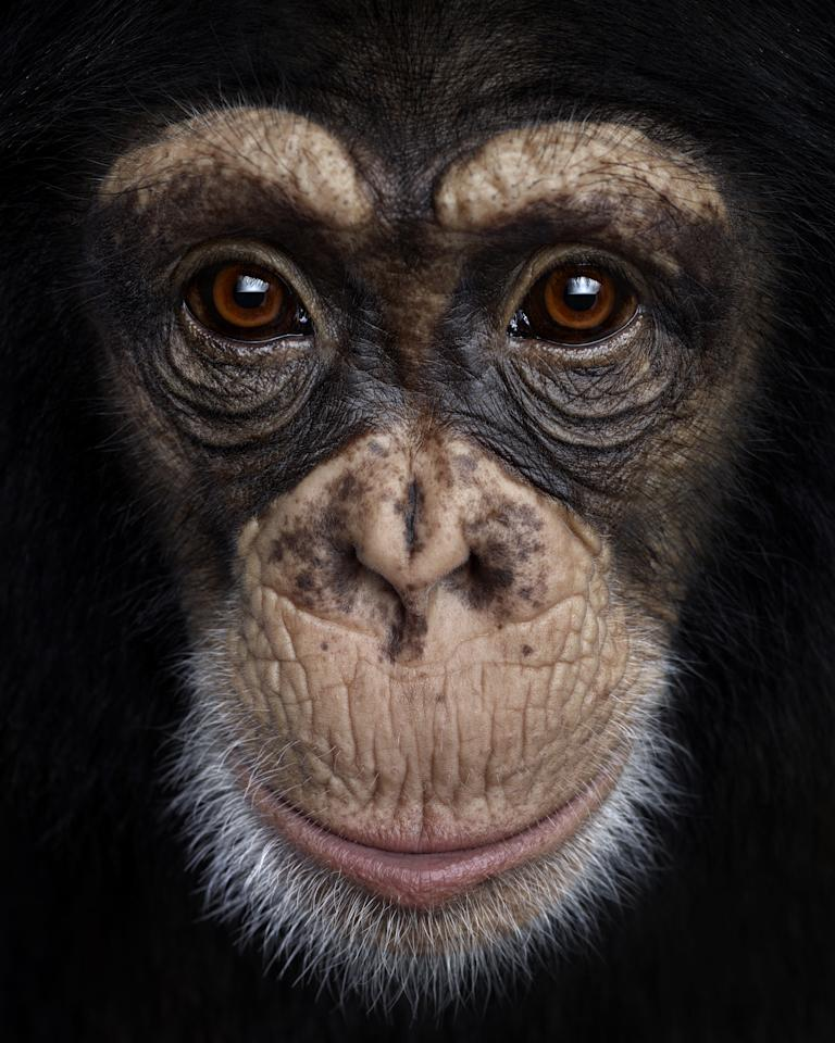 A chimpanzee poses for its close-up as part of photographer Brad's stunnng collection (Brad Wilson/Doinel Gallery)