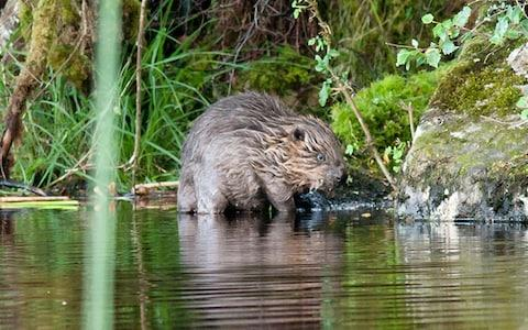 Undated handout photo issued by Scottish Wildlife Trust of a beaver kit on the water's edge - Credit: PA
