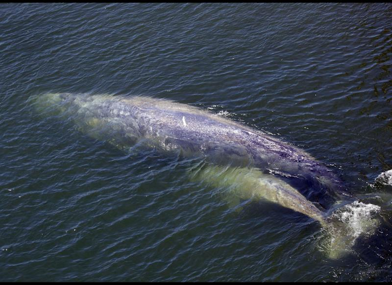 In this photo taken July 21, 2011, a baby gray whale is seen with its mother in the Klamath River in Klamath, Calif.