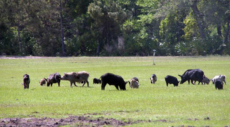 This undated photo provided by the U.S. Department of Agriculture Wildlife Services shows a group of feral pigs feeding in a pasture. The agency has teamed up with the state of New Mexico and others as part of a $1 million pilot project to eradicate the pigs from the state. Nationally, federal officials say the feral pig population has ballooned to an estimated 5 million. (AP Photo/Courtesy of the U.S. Department of Agriculture Wildlife Services)
