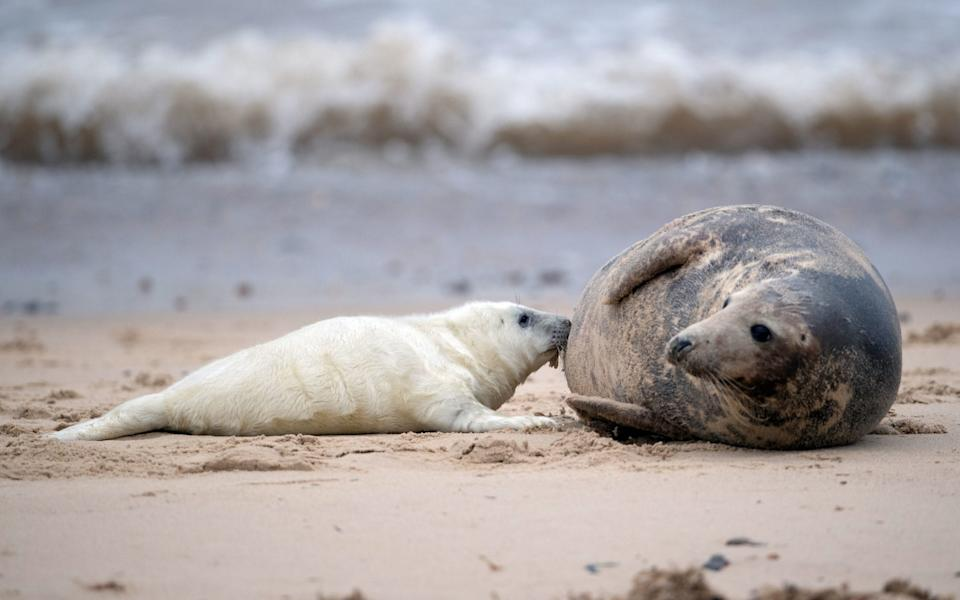 A newborn grey seal pup suckles from its mother on the beach at Horsey in Norfolk, as the pupping season begins at one the UK's most important sites for the mammals - Joe Giddens/PA