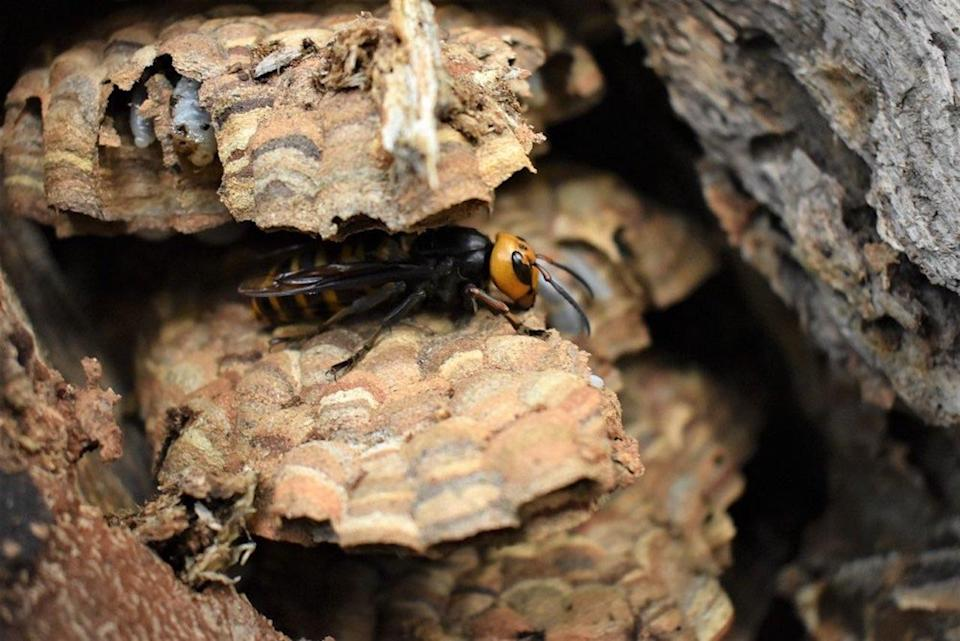 Asian giant hornet/Washington State Department of Agriculture Twitter