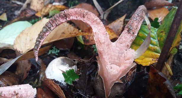 The rare Devil's fingertips or Octopus Stinkhorn (Clathus archeri) (Picture: RHS)