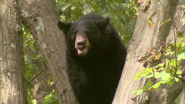 A 300-pound bear made his way up some trees, putting a neighborhood in Ridgewood, New Jersey on edge. WCBS's Christine Sloan reports.