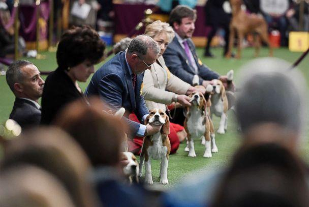 PHOTO: Beagles compete in Breed Judging during the 143rd Westminster Kennel Club Dog Show, Feb. 11, 2019 in New York City. (Sarah Stier/Getty Images)