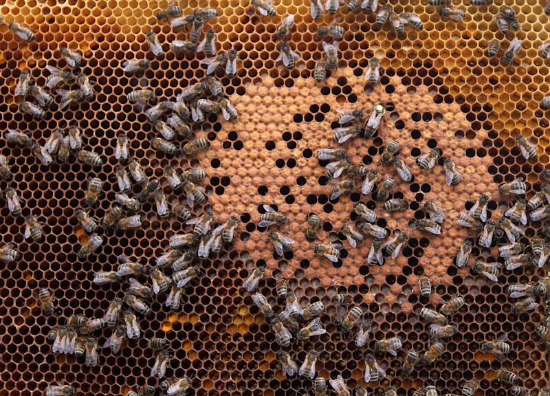 In this photo taken Monday, April 15, 2013, honey bees and the queen (with yellow dot) sit on a honeycomb in Wezembeek-Oppem near Brussels. EU Member States meet on Monday April 29, to decide on a proposal by the European Commission to impose a 2-year moratorium on neonicotinoid pesticides, which many scientists agree are the driving force behind Europe's dramatic bee decline. (AP Photo/Yves Logghe)
