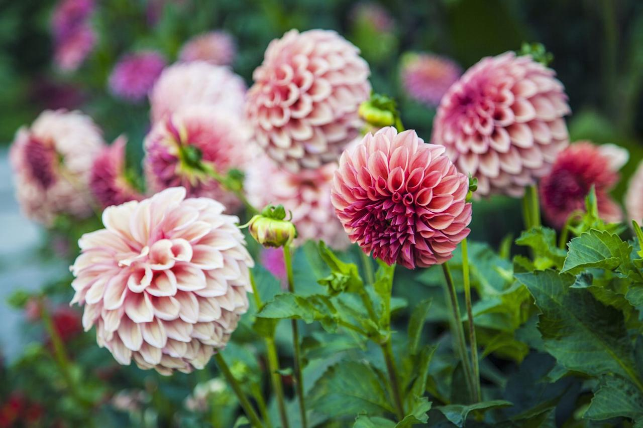 """<p><a class=""""body-btn-link"""" href=""""https://go.redirectingat.com?id=74968X1596630&url=https%3A%2F%2Fwww.burpee.com%2Fflowers%2Fdahlias%2Fdahlia-autumn-sunburst-83012.html&sref=http%3A%2F%2Fwww.goodhousekeeping.com%2Fhome%2Fgardening%2Fg22563541%2Ffall-flowers%2F"""" target=""""_blank"""">BUY NOW</a></p><p>Certain varieties will keep on bloomin' from mid-summer into fall. Pick orange- and red-tinted varieties for autumn bouquets, but dahlias come in just about every color under the sun. </p>"""