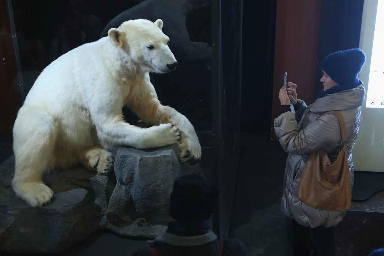 BERLIN, GERMANY - FEBRUARY 16:  A visitor photographs a model of Knut the polar bear, that features Knut's original fur, on the first day it was displayed to the public at the Natural History Museum on February 16, 2013 in Berlin, Germany. Though Knut, the world-famous polar bear from the Berlin zoo abandoned by his mother and ultimately immortalized as a cartoon film character, stuffed toys, and more temporarily as a gummy bear, died two years ago, he will live on additionally as a partially-taxidermied specimen in the museum. Until March 15, the dermoplastic model of the bear will be on display before it joins the museum's archive, though visitors can see it once again as part of a permanent exhibition that begins in 2014.  (Photo by Sean Gallup/Getty Images)