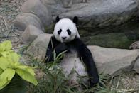 """<p>Head over to Atlanta Zoo's panda cam and you'll see plenty of the beautiful animals roaming freely. On their website, they say: """"During a time when the COVID-19 epidemic is touching all of our lives, we're proud and glad that people around the world find joy in PandaCam.""""</p><p><a class=""""link rapid-noclick-resp"""" href=""""https://zooatlanta.org/panda-cam/"""" rel=""""nofollow noopener"""" target=""""_blank"""" data-ylk=""""slk:WATCH NOW"""">WATCH NOW</a></p>"""