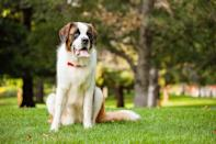 "<p><a href=""https://www.akc.org/dog-breeds/st-bernard/"" rel=""nofollow noopener"" target=""_blank"" data-ylk=""slk:Saint Bernards"" class=""link rapid-noclick-resp"">Saint Bernards</a> are saintly in name and demeanor; in fact, they were originally bred to rescue people stuck in snowy mountains and get their name from Saint Bernard de Menthon, the patron saint of mountaineers and skiers. They are famously patient and make quiet, dignified watchdogs.</p>"