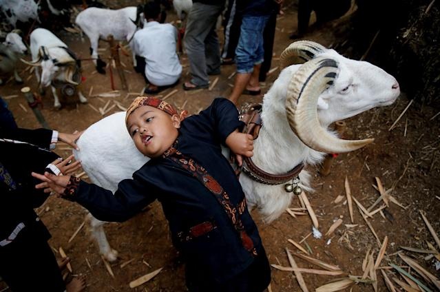 <p>A child holds his ram during a ram fight event in Cikawao village of Majalaya, West Java province, Indonesia, Sept. 24, 2017. (Photo: Beawiharta/Reuters) </p>