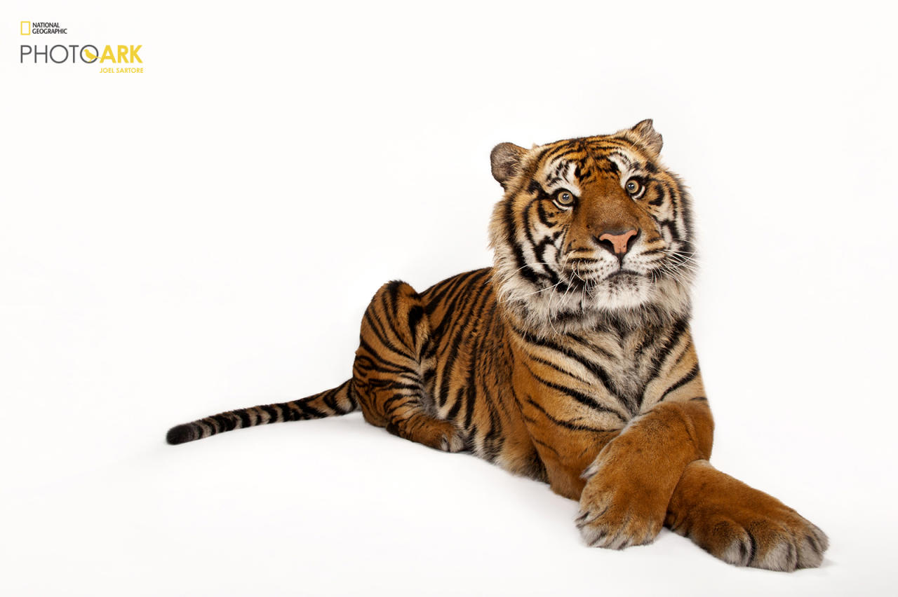 <p><strong>Critically endangered, fewer than 700 left in the wild.</strong> <br /> Photographed at the Miller Park Zoo in Atlanta, Georgia. (© Photo by Joel Sartore/National Geographic Photo Ark)<br /><br /><em> Support the Photo Ark and projects working to help save species</em><br /><em> at PhotoArk.org and join the conversation on social media with</em><br /><em> #SaveTogether.</em> </p>