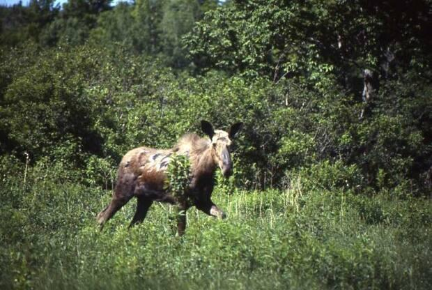 A moose seen in a forested area of mainland Nova Scotia. Moose are one of more than 60 at-risk species in the province. (Submitted by Bob Bancroft - image credit)