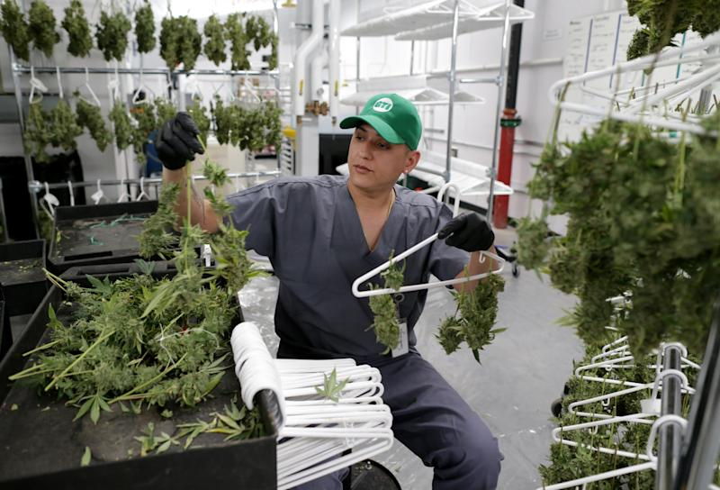 HOLYOKE, MA - JANUARY 31: Jonell Santiago works at Green Thumb Industries cultivation center in Holyoke, MA on Jan. 31, 2019. Green Thumb Industries, a Chicago-based cannabis company, invested $10 million to create a cultivation center in a former Holyoke mill building. Massachusetts is home to dozens of old textile and paper mills that once thrived, making the state a manufacturing powerhouse. By the 1950s, those industry jobs moved south and the mill buildings deteriorated from decades of neglect. Many have been repurposed as apartments or smaller businesses. Some have been torn down. But one unlikely industry is bringing them back: cannabis. Since the legalization of medical and recreational cannabis in 2012 and 2016, cannabis companies have been buying and leasing these relics of industrialization. There are a few reasons why: quicker profits, availability, and the negative stigma that surrounds weed. (Photo by Jonathan Wiggs/The Boston Globe via Getty Images)
