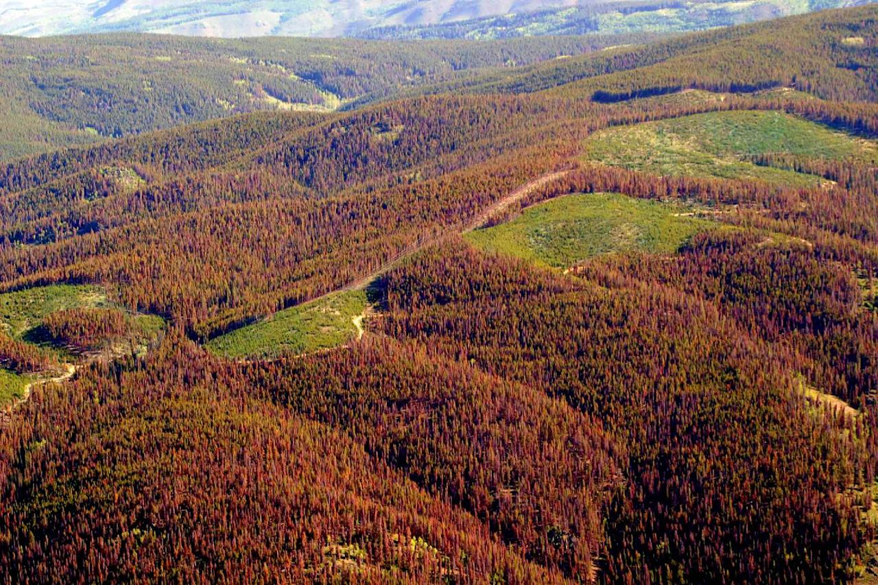 This undated file photo from the Colorado State Forest Service shows pine trees killed by beetles near Grandby, Colo. The U.S. Department of Agriculture warns in a report released Tuesday that big changes are in store for the nation's forests as global warming increases wildfires and insect infestations, and generates more frequent floods and droughts. (AP Photo/Colorado State Forest Service, Jen Chase)