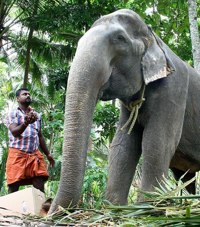 India has 2,454 elephants in captivity, a survey released last month said